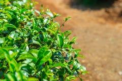 Pianta di tè, foglia sana della bevanda della natura fresca del tè verde Fotografia Stock Libera da Diritti