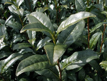 Pianta di tè verde Immagine Stock