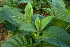 Pianta di tabacco Immagini Stock