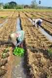 Pianta di tabacco in azienda agricola della Tailandia Fotografia Stock