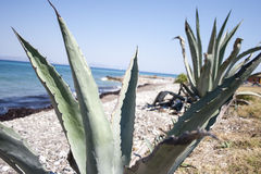 Pianta di Vera dell'aloe alla spiaggia Immagini Stock Libere da Diritti