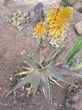 pianta di vera dell'aloe con i fiori arancio in primavera Immagini Stock