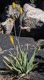 Pianta di vera dell'aloe in fiore Fotografia Stock Libera da Diritti