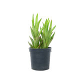 Pianta di vera dell'aloe in vaso da fiori Fotografia Stock
