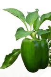 Pianta di verdure del capsico verde isolata su bianco Fotografia Stock