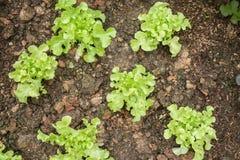 Pianta di verdure di agricoltura della lattuga Fotografia Stock