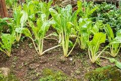 Pianta di verdure di agricoltura della lattuga Immagine Stock Libera da Diritti
