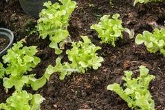 Pianta di verdure di agricoltura della lattuga Immagini Stock Libere da Diritti