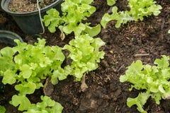 Pianta di verdure di agricoltura della lattuga Fotografia Stock Libera da Diritti
