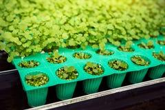 Pianta di verdure idroponica in azienda agricola o in giardino organica, giovane del bambino Fotografia Stock Libera da Diritti