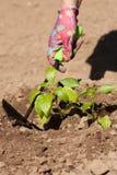 Pianta di verdure di Loosen Ground Around dell'agricoltore sul giardino Fotografia Stock Libera da Diritti