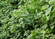 Pianta di verdure verde di eco dello sfondo naturale di struttura dello spiraea dell'arbusto Fotografia Stock