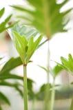 Pianta di Xannadu del Philodendron Fotografia Stock