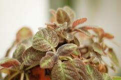 Pianta di Xannadu del Philodendron Fotografia Stock Libera da Diritti