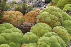 Pianta di Yareta (compacta di Azorella) nel parco nazionale di Salar de surire fotografia stock