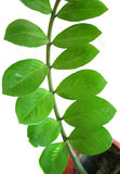 Pianta di zamiifolia di Zamioculcas in un POT Immagini Stock