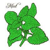 Pianta disegnata a mano della menta con le foglie Immagine Stock