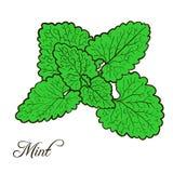 Pianta disegnata a mano della menta con le foglie Fotografia Stock Libera da Diritti