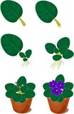 Pianta domestica africana delle viole della riproduzione vegetativa (saintpaulia) Fotografia Stock Libera da Diritti
