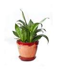 Pianta domestica in flowerpot Fotografie Stock Libere da Diritti