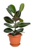 Pianta domestica in flowerpot Immagini Stock