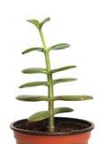 Pianta domestica in vaso isolato su fondo bianco Fotografia Stock