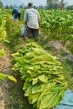 Pianta e agricoltore di tabacco in azienda agricola Immagine Stock