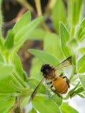 pianta e ape Immagini Stock