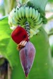 Pianta e banane esotiche Immagini Stock