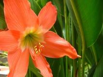 Pianta e fiore arancio del giglio Fotografia Stock Libera da Diritti