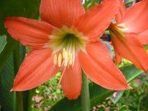 Pianta e fiore arancio del giglio Immagine Stock