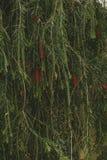 Pianta e fiori che appendono e che crescono sulla parete strutturata Immagini Stock