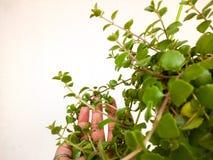 pianta e foglie Fotografia Stock Libera da Diritti