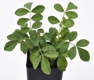 Pianta e foglie della liquirizia fresche fotografie stock