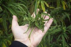 Pianta e germoglio di fioritura sativa della cannabis della cannabis della marijuana dell'esame dell'agricoltore immagine stock
