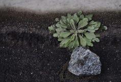 Pianta e pietra Immagine Stock