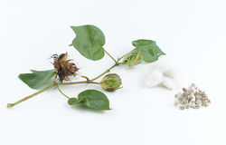 Pianta e seme di cotone Immagini Stock
