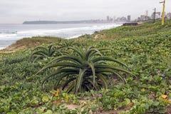 Pianta e vegetazione dell'aloe sulla spiaggia contro l'orizzonte della città Fotografia Stock Libera da Diritti