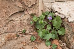 pianta Edera-leaved di Toadflax che cresce sulla vecchia parete resa Immagine Stock Libera da Diritti