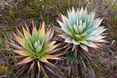 Pianta endemica Orectanthe Sceptum - Xirydaceae Fotografia Stock