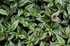 Pianta errante verde fertile dell'ebreo Fotografia Stock Libera da Diritti