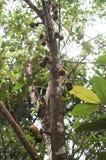 Pianta esotica con frutta in un albero nei tropici Fotografia Stock