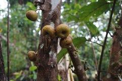 Pianta esotica con frutta in un albero nei tropici Fotografia Stock Libera da Diritti
