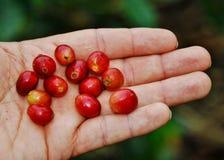 Pianta & fagioli di Cofee fotografia stock