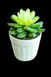 Pianta falsa del cactus fatta dall'albero di gomma Fotografia Stock
