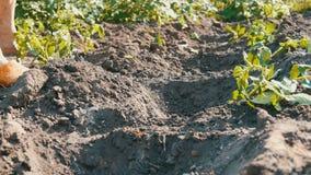 Pianta femminile delle mani in giovani tiri verdi a terra dei pomodori su una piantagione di verdure Le mani femminili piantano u archivi video