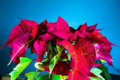 Pianta, fiore, stella di Natale, rosso, euforbia, simbolo tradizionale di Natale del fiore di pulcherrimaPoinsettia per pace dell Fotografia Stock