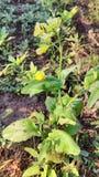 Pianta fiorita della senape immagini stock libere da diritti