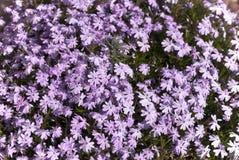 Pianta floreale da aiuola lilla in fiore Fotografia Stock