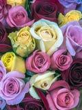 Pianta floweing di Rosa Fotografie Stock